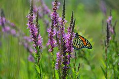 Monarch butterfly on loostrife flower stem. Field of loosestrife flower attracted monarch butterfly; plant considered invasive species in NYS. Butterflies can stock images