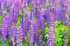 A field with a lot of lupine. Beautiful purple flowers in fresh summer greens Royalty Free Stock Image
