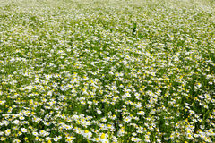 Field with lots of chamomiles Stock Photos