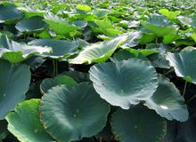 Field of Lotus Flowers. Can be used as background Stock Photography