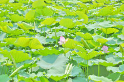 Field of lotus. Lotus flowers with green leaves Stock Photos