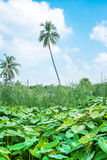 Field of lotus leaves and coconut tree,landscape background Royalty Free Stock Photography