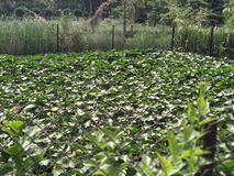 A field of lotus plants. stock photos