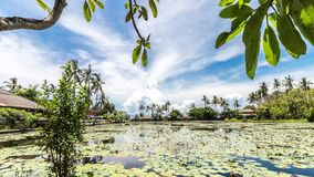 Field of Lotus on a tropical island Bali, Indonesia. Beautiful 4K scene of lotuses, plumeria tree, palms and clouds. stock footage