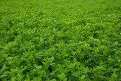 Field of Lucious Green Plants Royalty Free Stock Photography