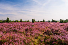 Field in Lueneburg Heath Royalty Free Stock Images