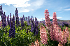 Field of Lupin Stock Photos