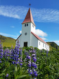 Field of lupine with church in the background Royalty Free Stock Images