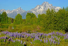 A field of Lupine grow beneath the Grand Tetons. Stock Image