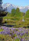 A field of Lupine grow beneath the Grand Tetons. Royalty Free Stock Images