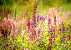 Field of Lupine textured. Royalty Free Stock Photo