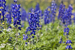 Field of Lupines. Flourish after the rain Royalty Free Stock Images