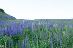 Field of lupines Stock Images