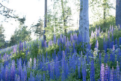Field of lupines Stock Photo