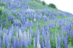 Field of lupines Royalty Free Stock Photos