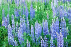 Field of lupines Royalty Free Stock Image