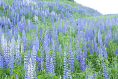 Field of lupines Royalty Free Stock Photography