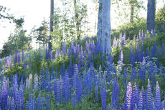 Field of lupines Royalty Free Stock Images