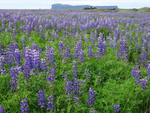 Field of lupines Stock Photos