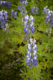 Field of Lupines. Closeup of a purple Alaskan Lupine in south part of Iceland Stock Images