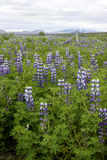 Field of Lupines. Landscape photograph of a Field of lupines, fence, mountains and one volcano in a distance Stock Photography