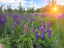 Field of lupines Stock Image
