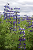 Field of Lupines. South part of Iceland Stock Images