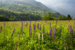Field of Lupines in the White Mountains. A meadow field covered in blooming lupine flowers in the White Mountains Stock Image
