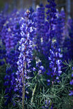 Field of lupines and wildflowers. Macro shot of a field of purple/blue lupines and wildflowers Stock Image