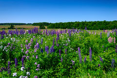 Field of Lupins Stock Photo