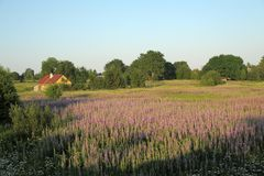 Field with lupins and a house stock photos