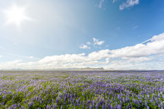 Field of lupins in Iceland Stock Images