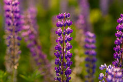 Field of Lupinus, commonly known as lupin or lupine Royalty Free Stock Images
