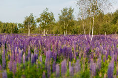 Field of Lupinus, commonly known as lupin or lupine Stock Photos