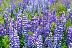 Field of Lupinus, commonly known as lupin or. Lupinus, lupin, lupine field with pink purple and blue flowers Royalty Free Stock Photography