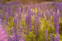 Field of Lupinus, commonly known as lupin or lupine Stock Photography