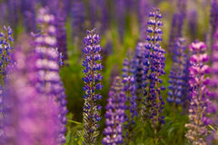 Field of Lupinus, commonly known as lupin or lupine Royalty Free Stock Photos