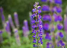 Field of Lupinus near forest in sunny summer day Royalty Free Stock Photos