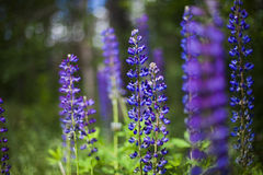 Field of Lupinus near forest in sunny summer day Stock Image
