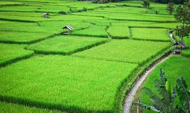 Field. The lush green fields are one of Thailand`s most beautiful Royalty Free Stock Photo