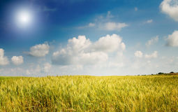 Field of lush wheat and blue sky with clouds. Stock Image