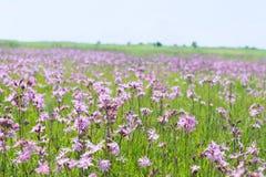 Field Lychnis flowers. Field full purple Lychnis flowers Royalty Free Stock Photography