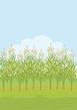 Field with maize. Agricultural rural landscape, field with green maize. Vector illustration Stock Photo