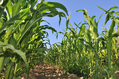 Field of maize Stock Photography