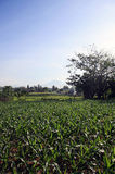 Field of Maize growing in Bali. Indonesia Stock Image