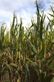 Field of Maize Plants. Maize, also known as corn or sweetcorn, is a large grain plant domesticated by indigenous peoples in Mexico in prehistoric times about 10 Stock Images