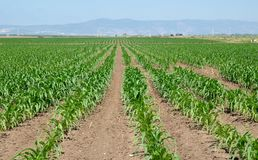 Field of maize seedlings Royalty Free Stock Image
