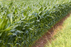 Field of maize in the summer Stock Photography