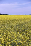 Field of Manitoba Canola in blossom 5 Stock Photography