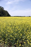 Field of Manitoba Canola in blossom 6 Royalty Free Stock Photos